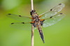 Four Spotted Chaser (.mushi_king) Tags: 500d dragonfly fourspottedchaser nt wickenfen dioptre insect macro nationaltrust wicken