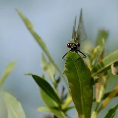 DSCF5408_ (faki_) Tags: fuji fujifilm xe1 fujinonxc50230mmf4567ois 50230 sooc ooc astia rovar insect szitakötő dragonfly