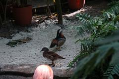 KWButterfly25 (alicia.garbelman) Tags: florida keys keywest keywestbutterflyandnatureconservatory birds ducks