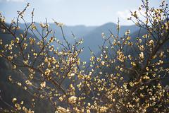 TOKUSHIMA DAYS - Kamiyama (junog007) Tags: tokushima winter flower wintersweet kamiyama shikoku garden nikon d800 2470mm