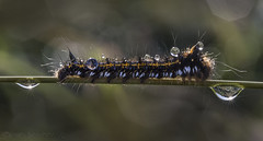 Pub Crawl (SkyeWeasel) Tags: macromondays dripsdropsandsplashes macro drinkermothcaterpillar caterpillar insect animal bokeh euthrixpotatoria dew waterdroplets ngc npc