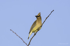 Cedar Waxwing (Chantal Jacques Photography) Tags: cedarwaxwing wildandfree depthoffield bokeh