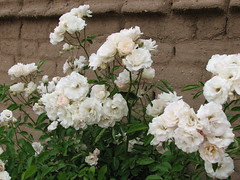 Roses and Adobe Wall (alicenewt@ymail.com) Tags: adobe roses