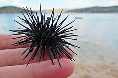 Hello baby! ;) (green_lover (I wait for your COMMENTS!)) Tags: seaurchin animals croatia hand sea 7dwf fingers prickles