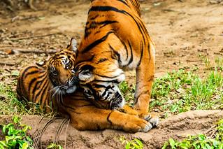 Sumatran Tiger's Mother and Child : スマトラトラの母子