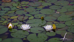 Lily's (E. Gene Chambers Photography) Tags: lily flower flowers water pads lilypad egcphotography egenechambers canon50d eos50d green lake