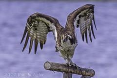 Osprey: impending liftoff IMG_0318 (ronzigler) Tags: osprey raptor flight avian nature bird birdwatcher canon 60d sigma 150600mm