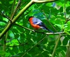 Red & Blue Bull Finch04-06-2017 001 (gallftree008) Tags: fungi fungus spider greenery green leaf flora florna nature naturesbeauties naturescreations irish irishwildlife wild bird birds insect tree trees underthetrees blue codublin county dublincity eire fingal jackopark knocksedan leaves thewardriver amazingnature bullfinch bull finch