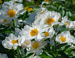The start of summer solstice! Enjoy.... (d.cobb56) Tags: yellow white peony perennial seasons summer serene delicate outdoor newengland gardening garden gardentherapy tranquil