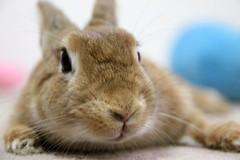 Ichigo san 745 (Ichigo Miyama) Tags: いちごさん。うさぎ ichigo san rabbit うさぎ netherlanddwarfbunny netherlanddwarf brown ネザーランドドワーフ ペット いちご
