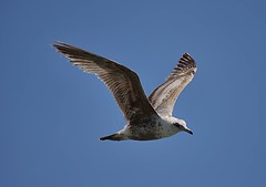 Fly By (swong95765) Tags: seagull gull flight flying sky wings feathers midair motion