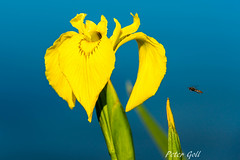 Im Anflug auf die Sumpf-Schwertlilie (Peter Goll thx for +11.000.000 views) Tags: 2017 dechsendorf frühling natur erlangen germany schwertlilie iris blume flower plant pflanze insekt insect water wasser pond lake deich