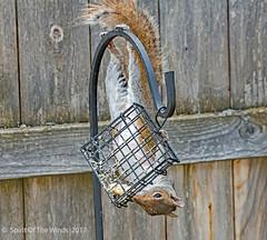 "Just Hangin Loose (jimgspokane) Tags: squirrels spokanewashingtonstate wildlife mykitchenwindow otw ""nikonflickraward"""