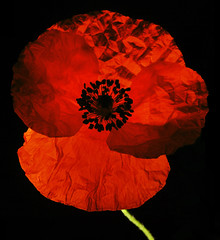 Poppy Back Lighting (1selecta) Tags: poppy flower flowred red green black crinkle crinkled crease creased petal petals crushed soft macro stitched crimson shadow shdows bright light