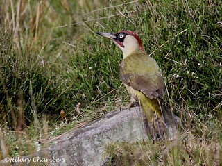 Green Woodpecker - Explored