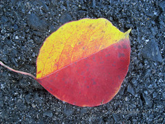 Colour scheme: Autumn leaf on blue bitumen (Su_G) Tags: sug 2017 autumn autumnal contrasts autumnleafonbluishgraybitumen autumnleaf bluishgraybitumen leaf bluishgray bitumen blue gray yellow carmine foundleaf tar coal