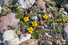 Yellow beach flowers (J. Pelz) Tags: flower brach gotland yellow nature rocks gotlandslän sweden se
