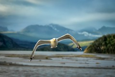 Duck! (Philip Kuntz) Tags: seagull gull copperriver copperriverbridge sunset dusk chitina alaska