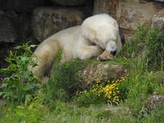 Lazy Days (Sharon B Mott) Tags: polarbear bear projectpolar savethepolarbears preditor carnivour awesome animal yorkshirewildlifepark june
