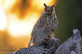 The Long-eared owl (Ready for early sunset hunt)