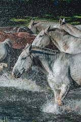 Freedom (Valter Patrial) Tags: matogrossodosul brasil br horses gallop cavalcade farm nature cavalos galope cavalgada fazenda natureza