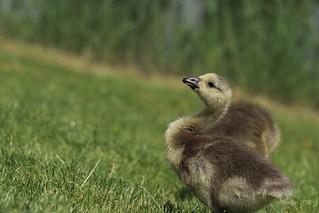 IMG_012137 - Brave gosling