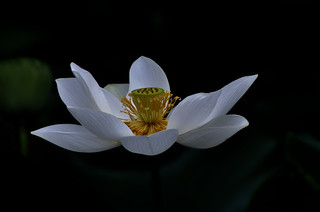 DSC0010 Lotus