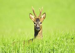Roe deer (George Findlay) Tags: deer roe buck field nikon sigma ayrshire
