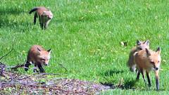 DSC_0759 (rachidH) Tags: fox renard vulpes foxcub renardeau redfox renardroux vulpesvulpes backyard frontyard wildlife sparta newjersey nj rachidh nature