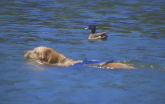 Swimming buddies-24/52-52 Weeks for Dogs (Karon Elliott Edleson) Tags: swimming golden goldenretriever 52weeksfordogs lake duck buddies swimmingbuddies friends animalfriendships