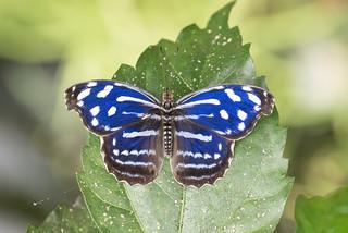 Myscelia cyaniris