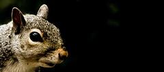 A neighbor..... (tomk630) Tags: virginia light squirrel nature close animale dark