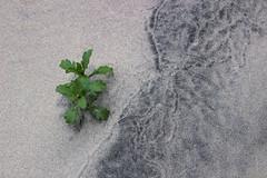 Coast gumweed (nikname) Tags: oregonbeaches oregoncoast beachtextures sandytextures sanddesigns coastgumweed gumweed sandplants