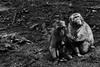 Family (grundi1) Tags: sony sonya68 alpha 68 ilca japanmakaken landskron kärnten carinthia sigma1770f2845dcmacro sigma macaca japanese 1770 f2845 dc macro wasser water schwarzweis scharz weis blackandwhite black white bw f 2845 ds schwarz