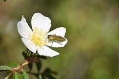 Bupréstido en rosal silvestre (esta_ahi) Tags: secabecs rosal rosa rosaceae flor flora flores silvestres buprestidae coleoptera insectos fauna torrellesdefoix penedès barcelona spain españa испания
