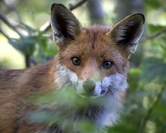 Fox (peterspencer49) Tags: peterspencer peterspencer49 fox woods