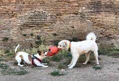 Icey playing with Nina (ilirjacellari) Tags: littledog mydog dogsplaying