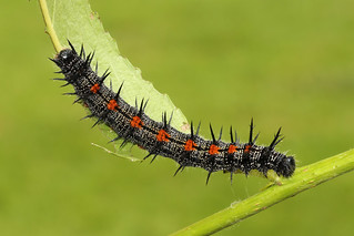 Mourning Cloak - Nymphalis antiopa larva