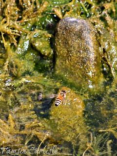 Dwarf Honeybee