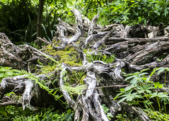Root System (Hans van der Boom) Tags: rotterdam nederland netherlands arboretum trompenburg garden tree roots system zuidholland nl