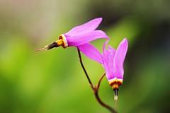 Les colibris. / Hummingbirds. (alainragache) Tags: macro hdr fleur flower canon600d sigma spring printemps frühling primavera firoi flores saison season color couleur pink rose nature ngc
