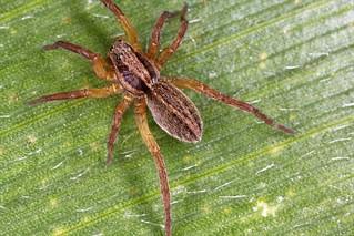Araignée lycoside.