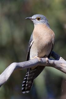 Cuculidae - Fan-tailed Cuckoo