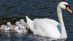 H5186098_DxO-11 (mortenekstrøm) Tags: swan olor cygnus mute europe water bird white nature baby swimming animal chicks young cute family wild wildlife chick waterfowl cygnet close spring hatchlings life adorable fluffy danish denmark