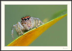 Araña saltadora - Jumping spider (J. Amorin) Tags: arañasaltarina araña arañasaltadora jumpingspider macro canon10028macro canon7d salticidae amorin macuspana