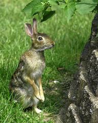 A Harey Encounter (mztery) Tags: animals rabbit wildlife nature