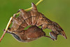 Caterpillar of the Lobster Prominent (Foto Martien) Tags: lobstermoth eekhoorn eekhoornvlinder lobsterprominent buchenzahnspinner bombyxduhêtre écureuil potworabuczynówka вилохвостбуковый stauropusfagi notodontidae tandvlinder moth nachtvlinder mot caterpillar rups larve larvae grey brown green rood europe temperateasia japan raupe chenille oruga bruco butterfly vlinder falter schmetterling papillon mariposa farfalla motte mite butterflynursery kwekerij butterflyhouse indoorbutterflygarden overdektevlindertuin vlindertuin passiflorahoeve zorgboerderij harskamp vlinderkas veluwe dutch netherlands nederland holland sonyalpha77 sonyslta77v geotag geotagging geotaggedwithgps macrophoto macrofoto macroopname minoltamacro100mm28mm martienuiterweerd fotomartien
