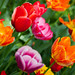 Colours of Tulips