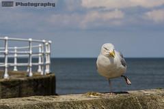 Happy Feet (C.M_Photography) Tags: seagull funny feet hop oneleg bird lean wall swa sky blue sonyfe90mm