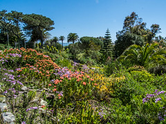 Pink Red Proteus H View Tresco  2017 (davidmcbridephotography) Tags: tresco gardens flowers sea water sunshine travel colour vivid squirrell succulents plants trees palms boating isles scilly scillies united kingdom holiday islands scenic walking outdoors trecking rambling birds flower